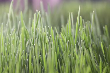 Some good lookin' wheatgrass.
