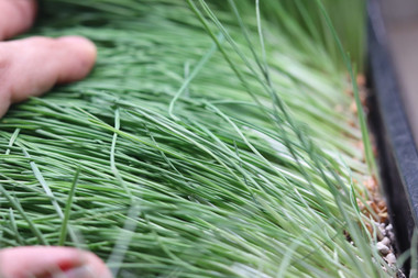 Wheatgrass picture taken right before harvest time.  We follow Dr. Charles Shnabel patented method of best time to harvest wheatgrass.  After the 1st jointing phase at this time it hold the most nutritional content.