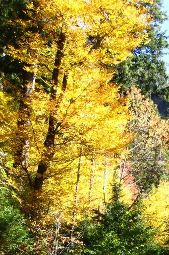 Yellow Birch Betula Alleghaniensis Rootmaker Grown