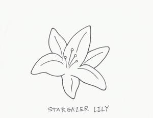 LILY STARGAZER