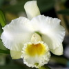 Rlc. Lois Spangler-Melodious Laughter 'Volcano Queen' (Plant Only)