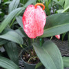 "Speckled Pigtail Anthurium Plant (5"" Pot)"