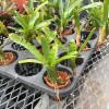 "Yellow/Green Bromeliad in 2"" Ceramic Pot (Neo. Punctmissima)"