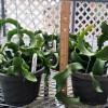 """Epiphyllum 'Mini Dragon' (6"""" Hanging Basket)"""