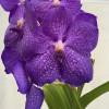 """3""""  Vanda manuvadee x sib (Plant Only)"""