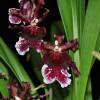 Odcdm. Burgundian (Plant Only)