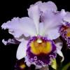 C. Dinard 'Blue Heaven' (Plant Only)