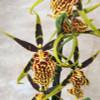 Bnfd. Gilded Tower 'Mystic Maze' (Plant Only)