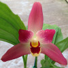 "Lysudamuloa Red Jewel (4"" Pot)"