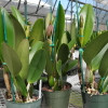 Assorted Mature BUDDED Cattleya (5 Plants)