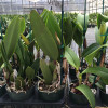 Assorted Mature BUDDED Cattleya (10 Plants)