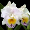 Rlc. California Girl 'Orchid Library'