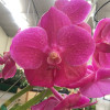 Vanda Pure's Wax Pink No. 2 (Open Blooms)