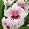 Milt. Maui Mist (Plant Only)