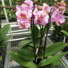 Phal. Magic Art