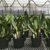Cattleya Legacy Naming (AO-1776)