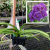 "V. Pachara Blue Giant Buster '#2' (Plant Only-3"" hanging)"