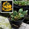 "Dendrobium jenkinsii (Starter-3"" Pot)"