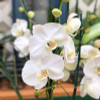 Phal. Baby Seal (White-Double Spikes)