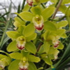 Mini Green Cymbidium Orchid Sprays