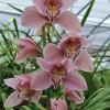 Pink Cymbidium Orchid Sprays #2 (Standard Size)