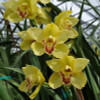 Yellow Cymbidium Orchid Sprays #2 (Standard Size)