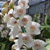 White Cymbidium Orchid Sprays #3 (Standard Size)