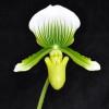 Paphiopedilum-Green & White Striped