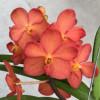 Ascda. Fuch's Sunglow 'Orange' (Open Blooms)
