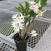 Den. amethystoglossum (Species Orchid)
