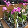 Mini Dendrobium