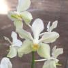 V. denisander x V. coerulea var. alba (Open Blooms)
