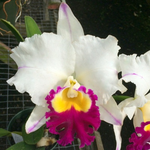 Rlc. Pamela Shells Hawaiian Delight