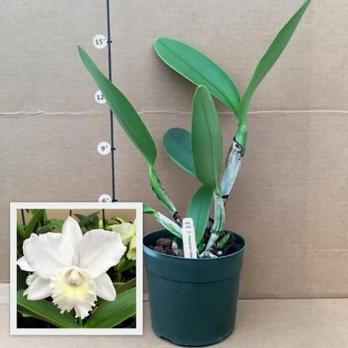 Rlc. Hawaiian Wedding Song 'Virgin' (Plant Only)