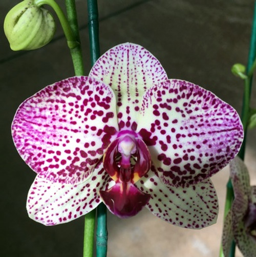 Phal. Pink & Green (Leopard)