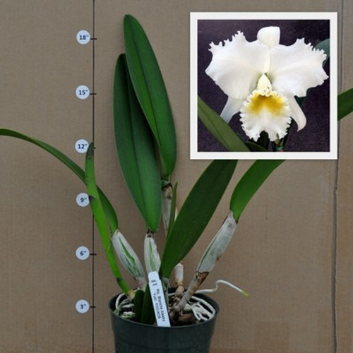 C. Esbetts 'Diane' (Plant Only)