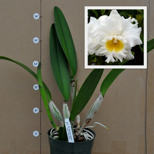 Rlc. Good News 'Yuki' (Plant Only)