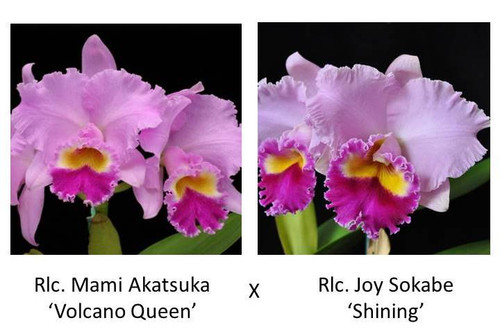 Cattleya Legacy Naming (AO-1725)