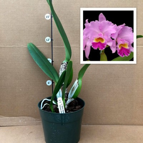 C. Mami Akatsuka 'Volcano Queen' (Plant Only)