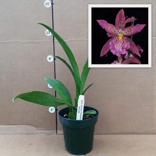 Bllra. Marfitch 'Select'  AM/AOS (Plant Only)