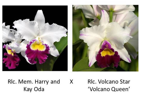 Rlc. Mem. Harry and Kay Oda x Rlc. Volcano Star 'Volcano Queen' (Plant Only)
