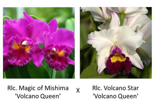 Rlc. Magic of Mishima 'VQ' x Rlc. Volcano Star 'VQ' (Plant Only)