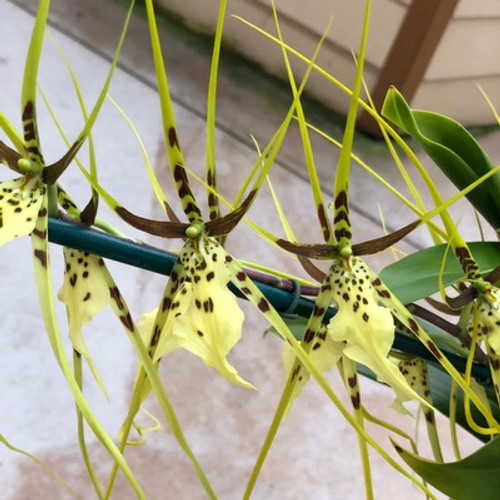 Brs. Spider's Gold 'Prolific'