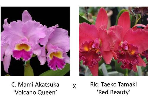 C. Mami Akatsuka 'Volcano Queen' x Rlc. Taeko Tamaki 'Red Beauty'