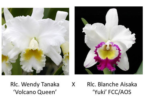 Rlc. Wendy Tanaka 'Volcano Queen' x Rlc. Blanche Aisaka 'Yuki' FCC/AOS
