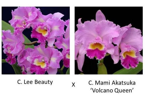 C. Lee Beauty x C. Mami Akatsuka 'Volcano Queen'