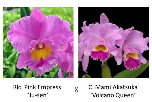 Rlc. Pink Empress 'Ju-sen' x C. Mami Akatsuka 'Volcano Queen'