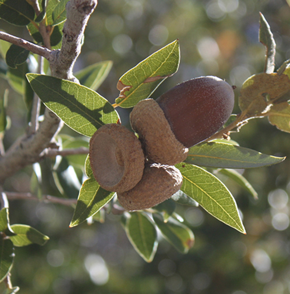 By Ewen Roberts from San Diego, CA, United States - Acorns, CC BY 2.0, https://commons.wikimedia.org/w/index.php?curid=9748179