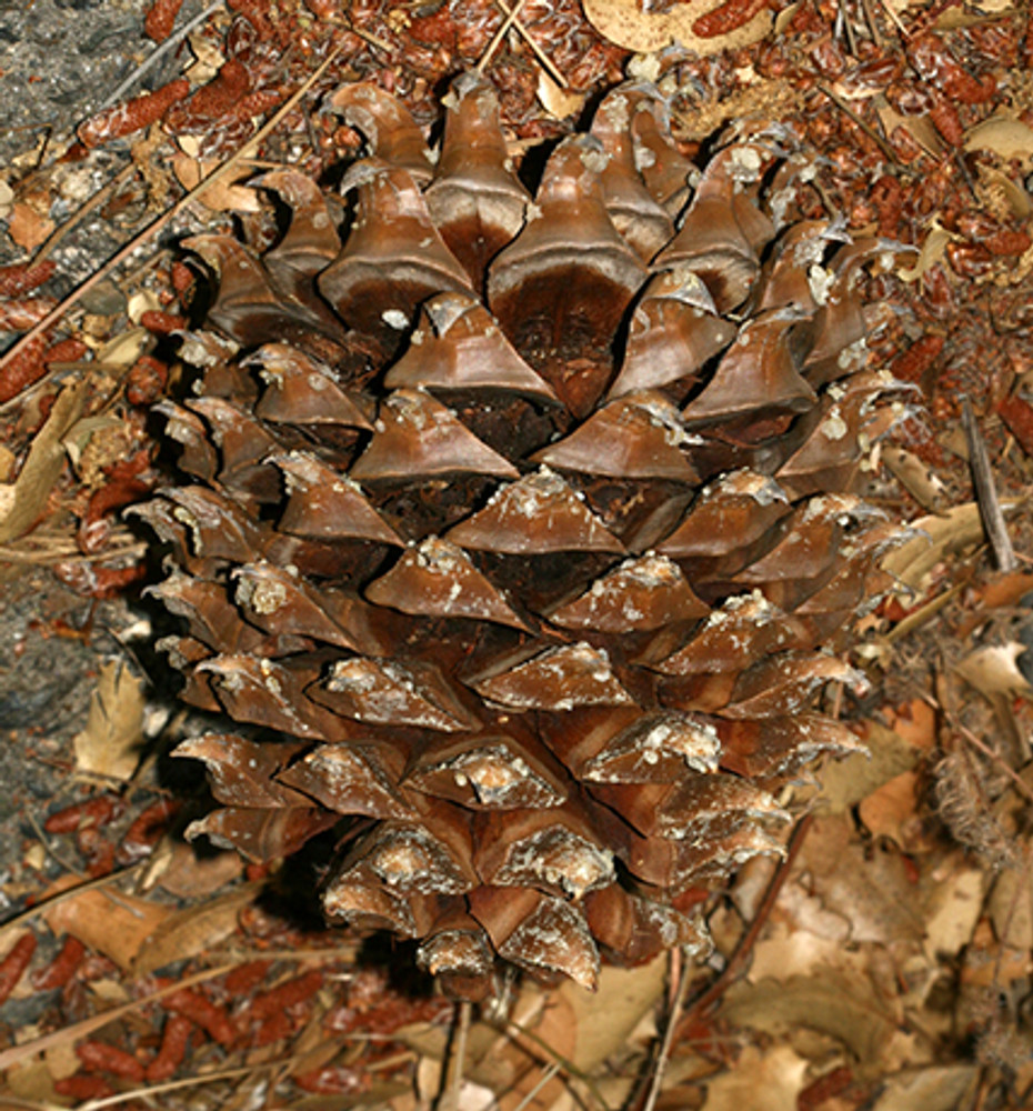 By Sandy__R from Scotland, UK - Pinus sabiniana (Gray Pine) - cone, CC BY 2.0, https://commons.wikimedia.org/w/index.php?curid=25054842