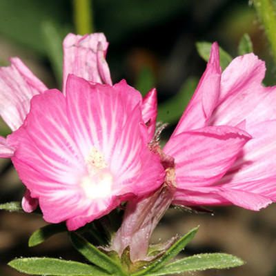 Dwarf Checkerbloom